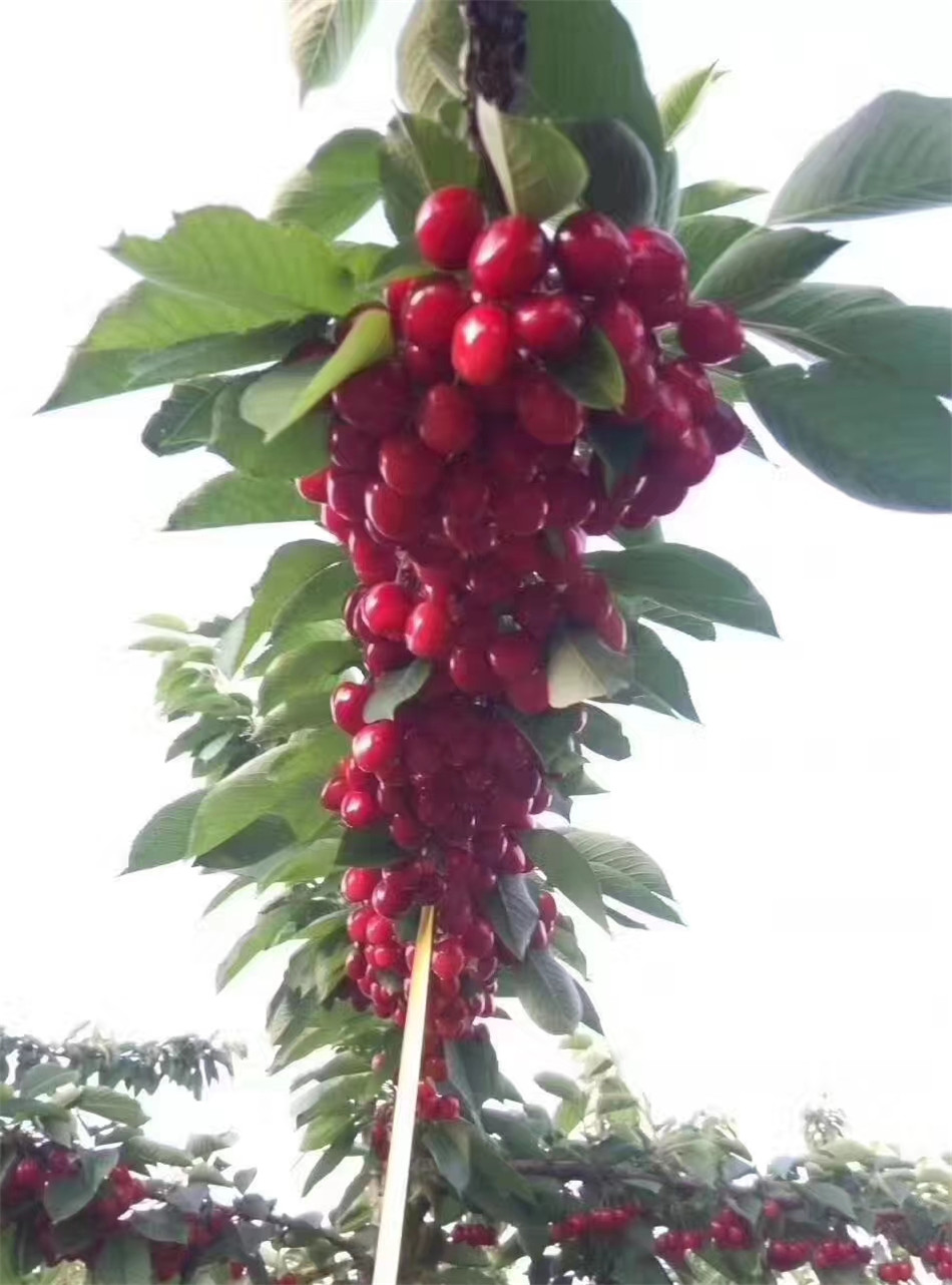 树上的樱桃