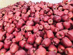 堆积成山的花牛苹果