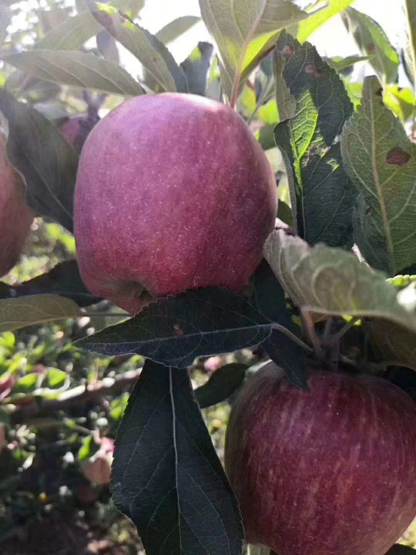 树上的花牛苹果