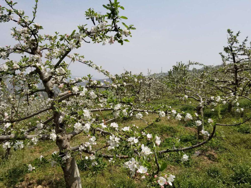 花牛苹果树