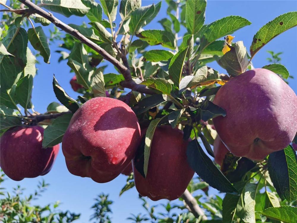 树上的大花牛苹果