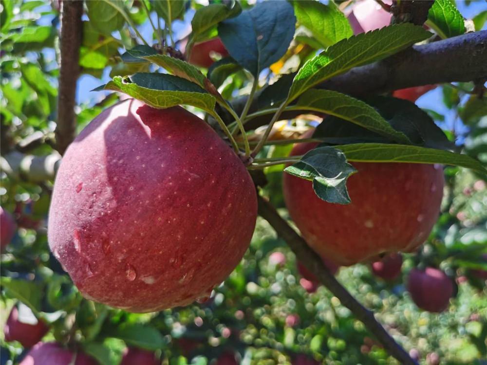 树上的圆形花牛苹果